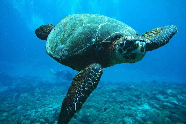Tartaruga marinha em Fernando de Noronha