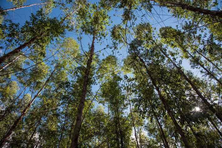 Mata de eucalipto plantada no Norte de Minas:
