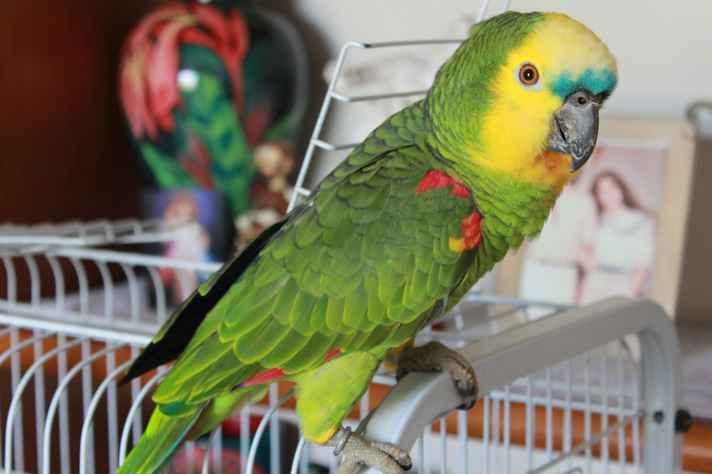 Amostras de sangue para sequenciamento foram coletadas do papagaio Moisés