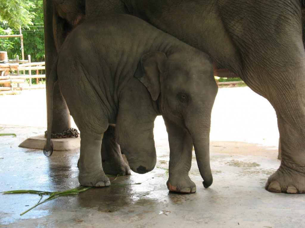 Mosha, bebê elefante que inspirou a 'Elephant Parade'