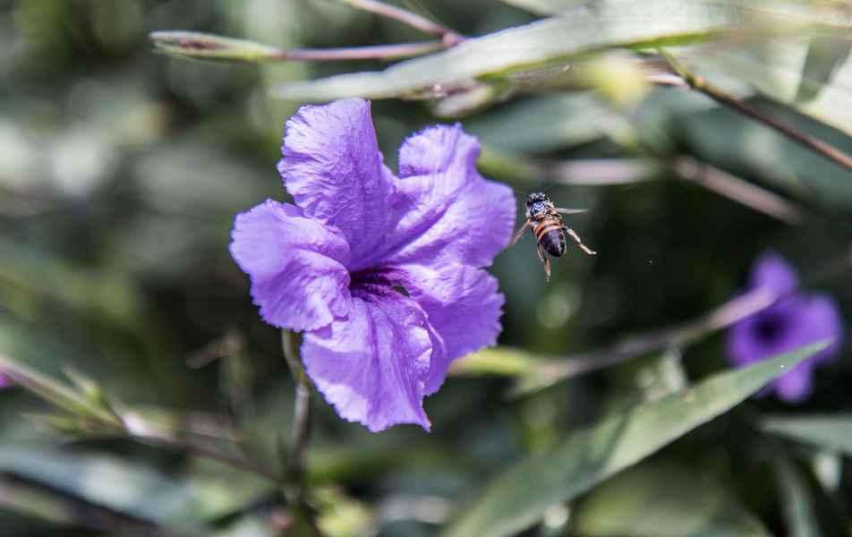 Abelha polinizando  flor