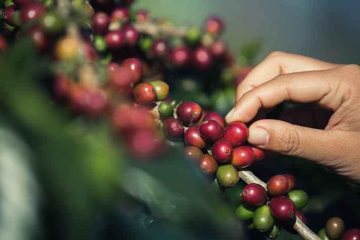 Com as mudanças climáticas, Minas Gerais deve perder protagonismo na produção de café