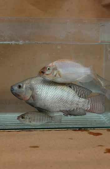 Pesquisas de grupo do ICB com peixes geneticamente modificados geram 10 pedidos de patentes e pode contribuir para estudos em áreas como crescimento e reprodução humana