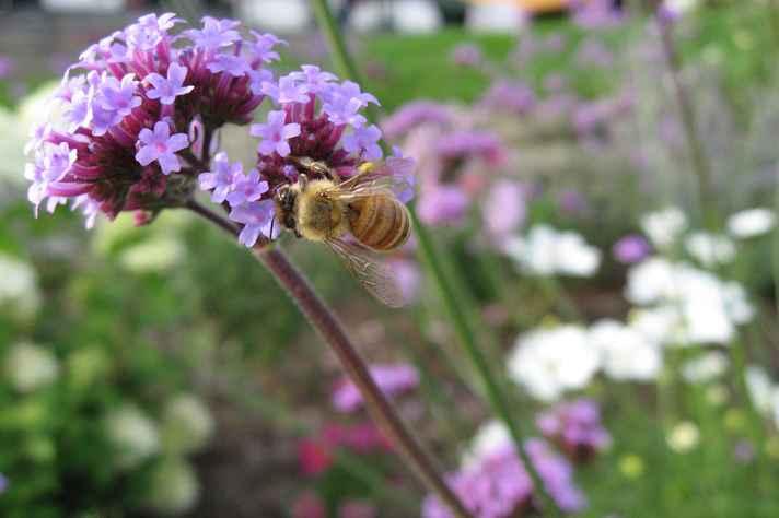 Abelhas são fundamentais para que ocorra a polinização