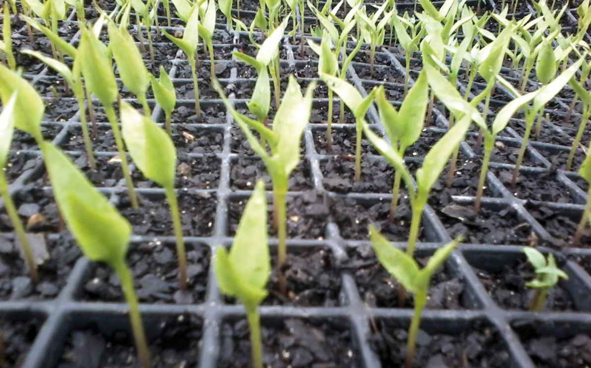 Mudas cultivadas por estudantes do Instituto de Ciências Agrárias, em Montes Claros