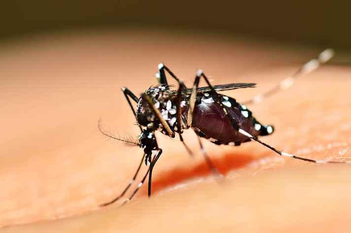 Mosquitos como o 'Aedes aegypti' são vetores de doenças como dengue e febre amarela
