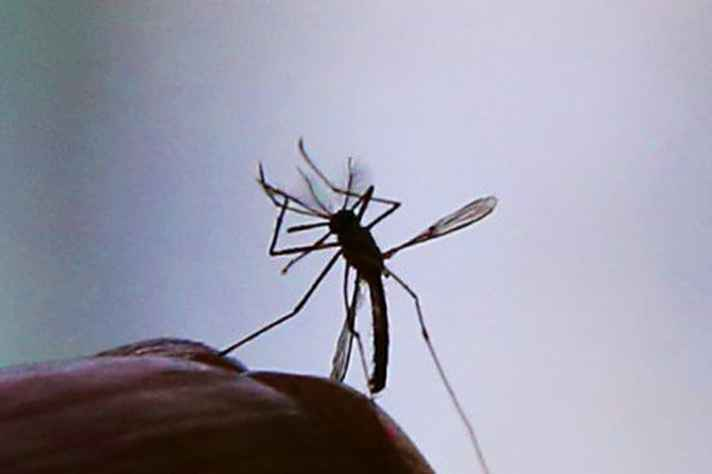 vacina desenvolvida na UFMG interrompe ciclo de vida do Aedes Aegypti, responsável por dengue, chikungunya e zika.