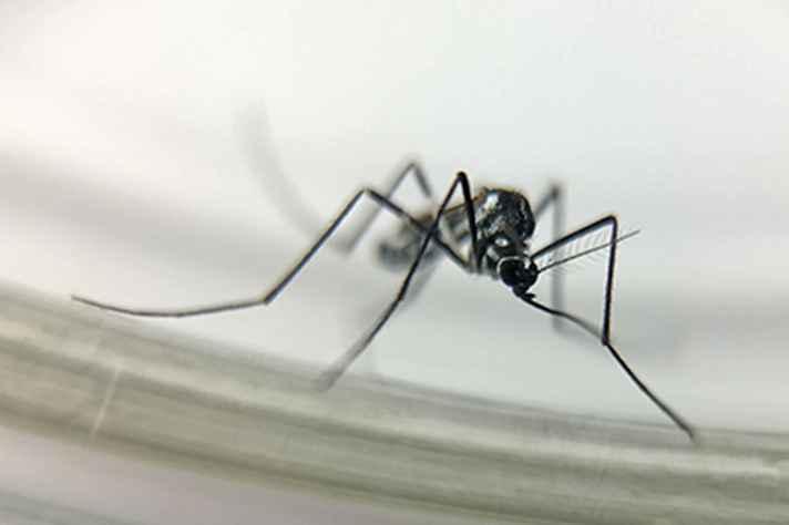 Mosquito da espécie Haemagogus, transmissor da febre amarela