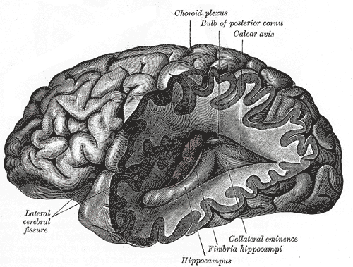 Ilustração da visão lateral de um cérebro humano, na qual são destacados o hipocampo e outras características neuroanatômicas, extraída do livro 'Gray's Anatomy' (1918)