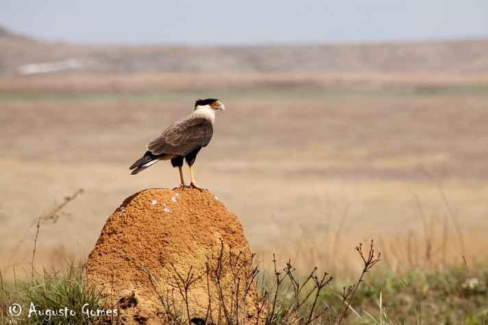 O Carcará ('Caracara plancus') é uma das espécies de aves típicas dos campos rupestres