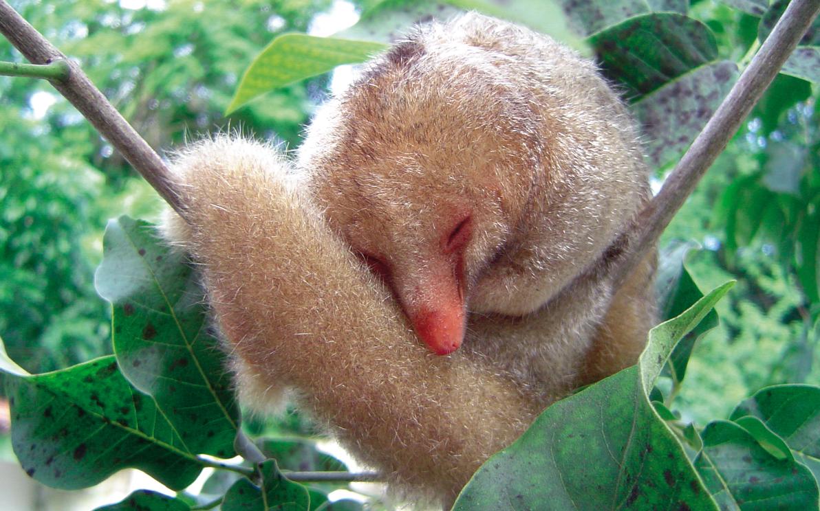O tamanduaí vive em árvores da Mata Atlântica e da Amazônia brasileira