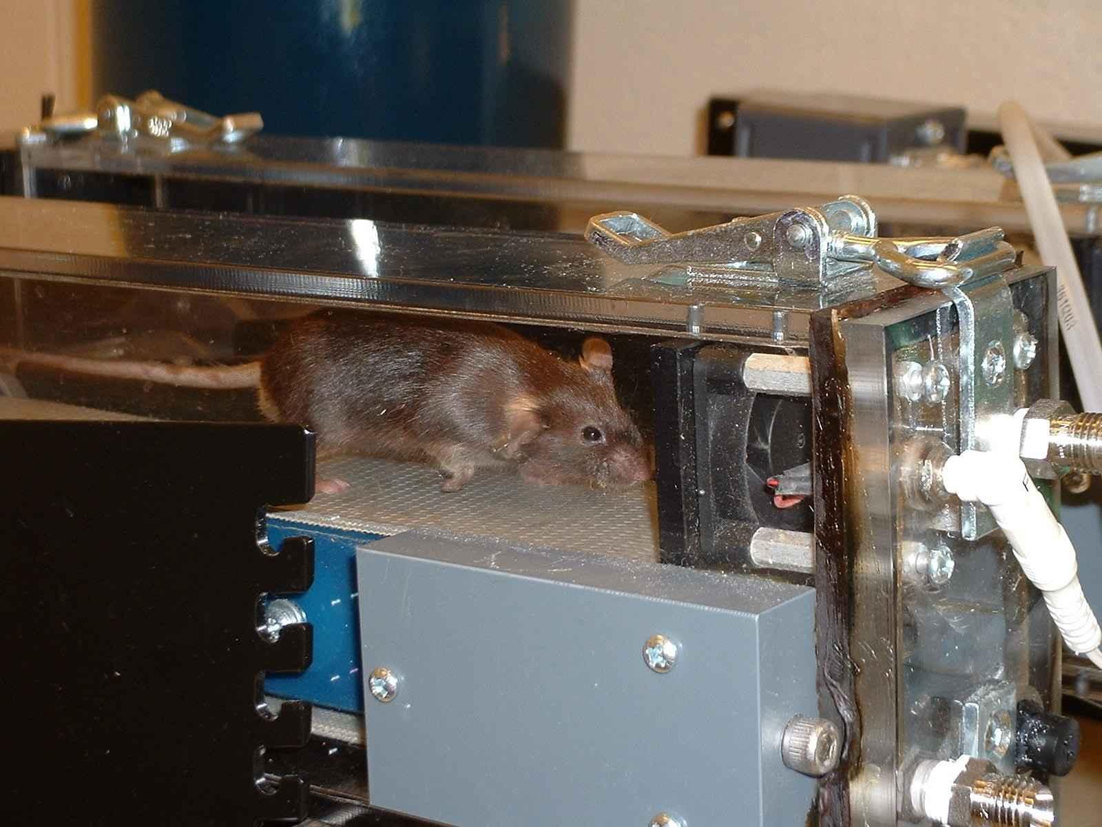 Modificações genéticas como as que geram os super-ratos têm impactos antropológicos