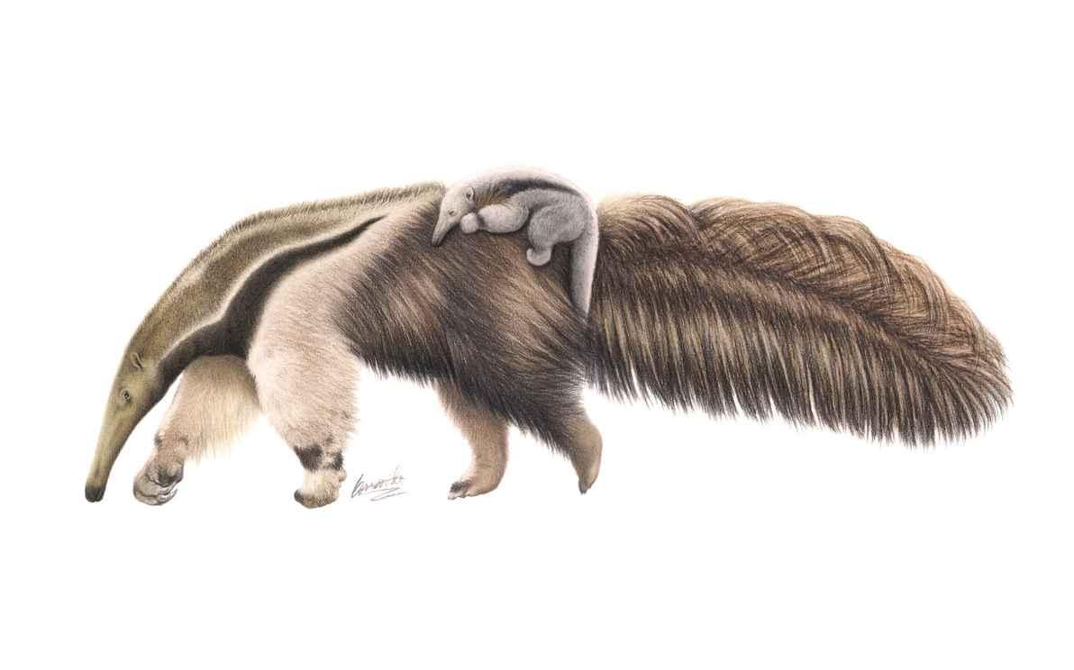Myrmecophaga tridactyla – técnica: lápis de cor sobre papel, 2015