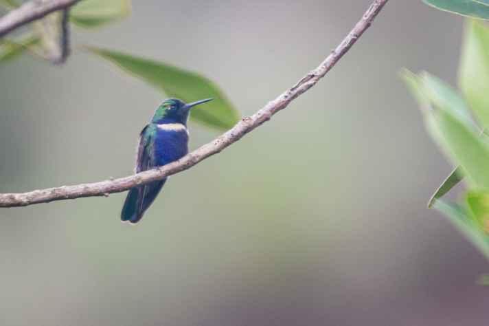 Beija-flor-de-gravata-verde (Augastes scutatus), Santuário do Caraça, Catas Altas, MG