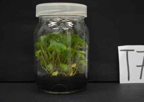 Muda de morangueiro cultivada durante a pesquisa