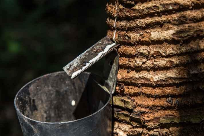 Detalhe de seringueira no Acre: atividades do mestrado contribuem para o estudo de estratégias de preservação e uso racional dos recursos naturais