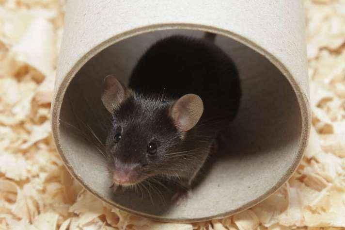 Camundongo em laboratório: Comitê de Ética em Pesquisa Animal também selecionará representante