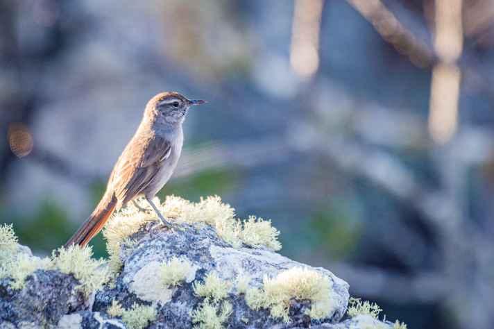 Lenheiro-da-serra-do-cipó ('Asthenes luizae'), no Parque Nacional das Sempre-Vivas, Diamantina, MG