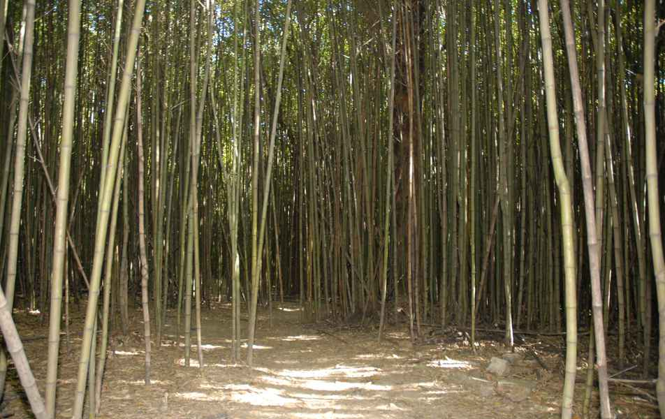 Bambus na Estação Ecológica da UFMG - campus Pampulha
