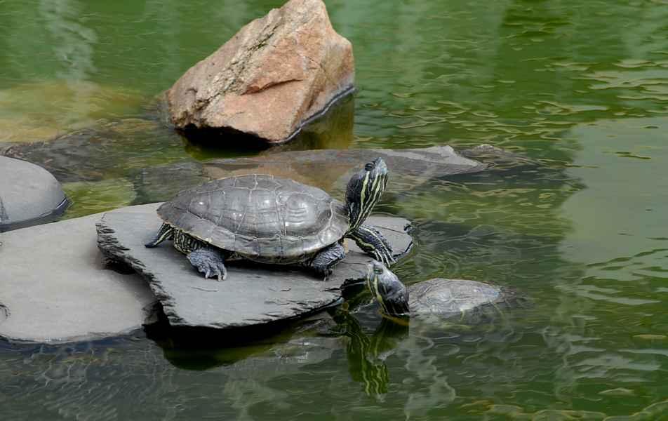 Tartaruga tigre-d'agua no lago da Reitoria