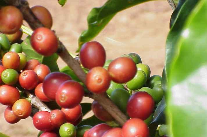 Projeto mapeia cafezais no Estado