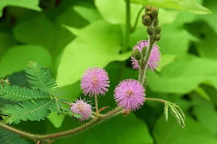 Plantas daninhas podem atrapalhar a produção agrícola. Na imagem, planta do gênero mimosa, um dos identificados no campus