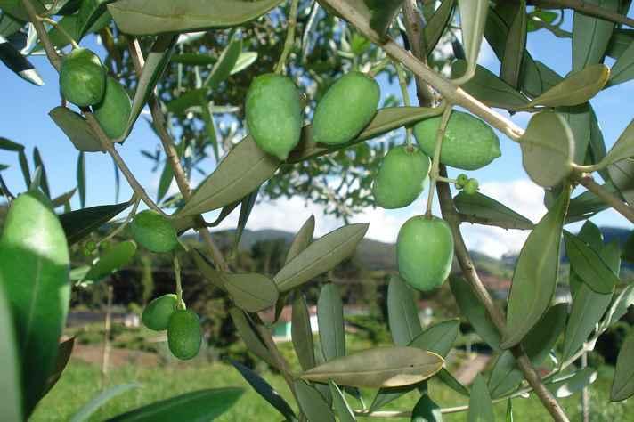Cultivo de oliveiras na Serra da Mantiqueira: produção de azeites extravirgens de altíssima qualidade