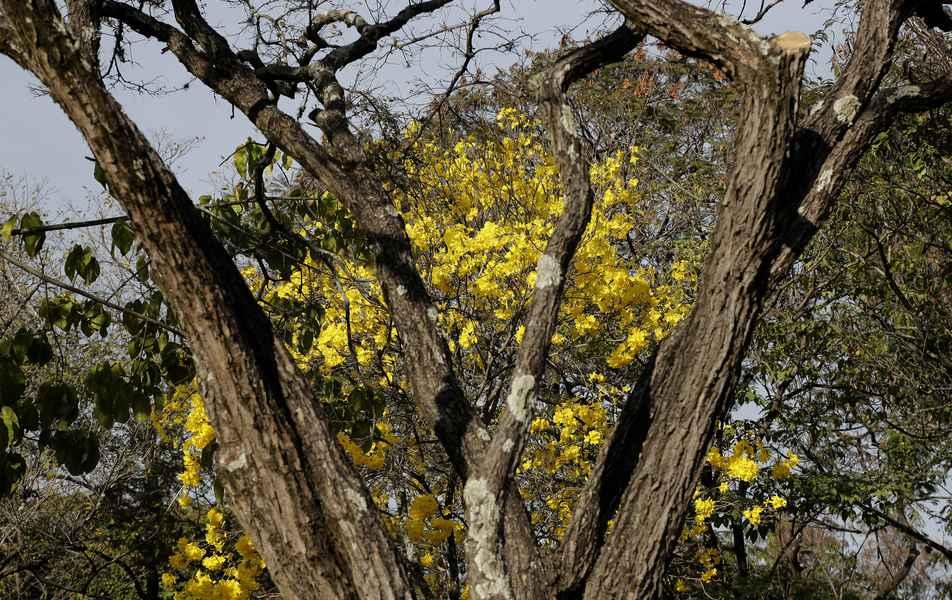 Ipê amarelo no campus Pampulha