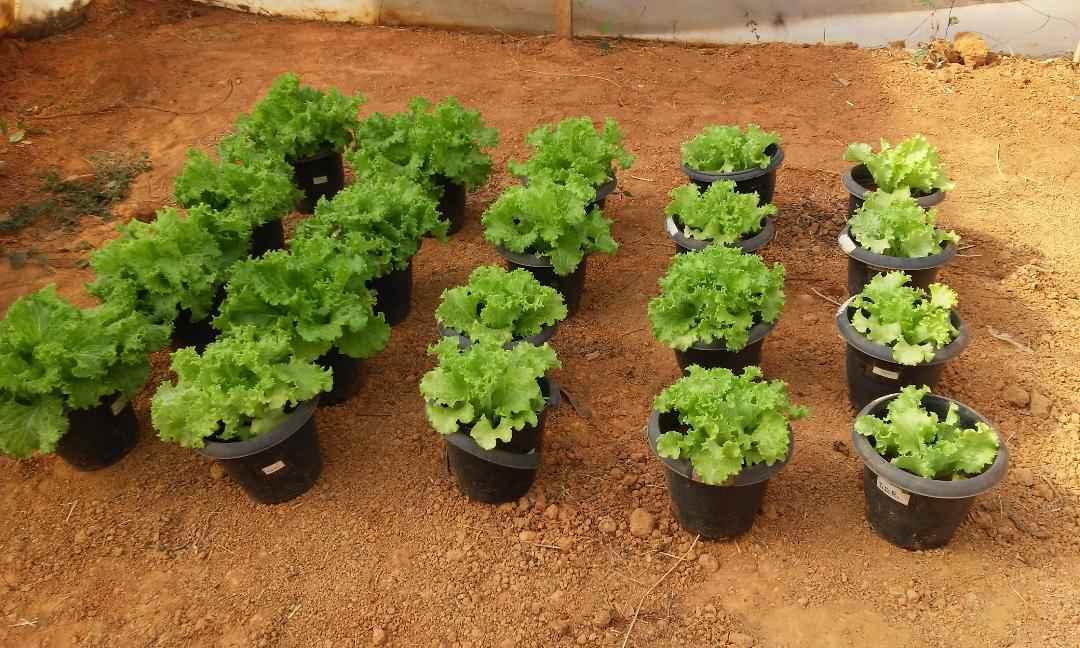 Hortaliças cultivadas com o composto