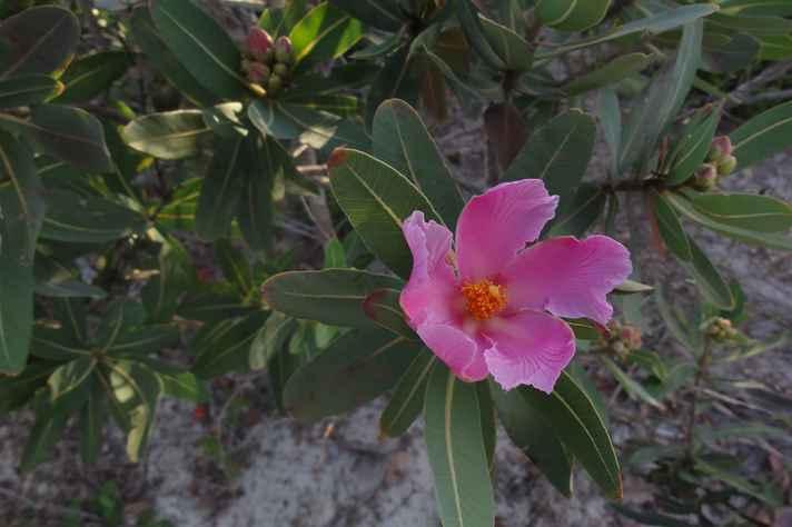 Folha santa é uma planta nativa do Brasil