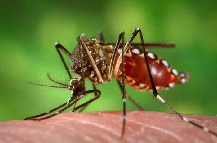 Mosquito Aedes Aegypti, transmissor da dengue e outras doenças