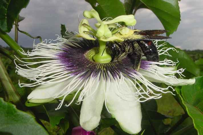 Inseto polinizador em uma flor de maracujá