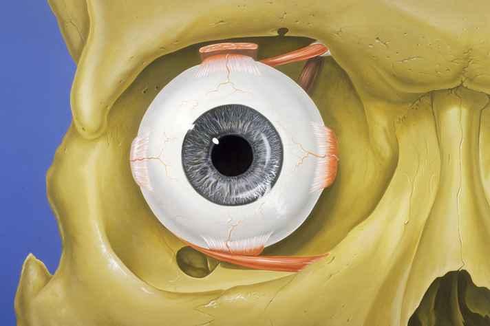 Representação do olho humano em sua órbita
