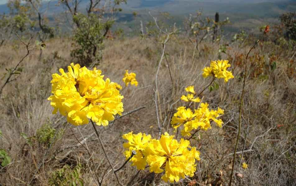 Ipê Amarelo, árvore nativa do cerrado