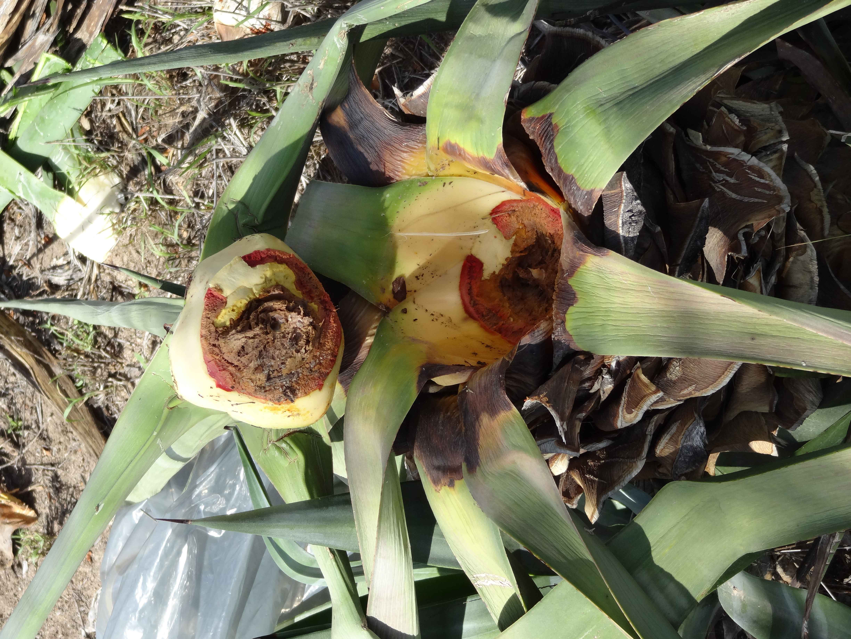 Base da planta e caule com a coloração vermelha que caracteriza a doença