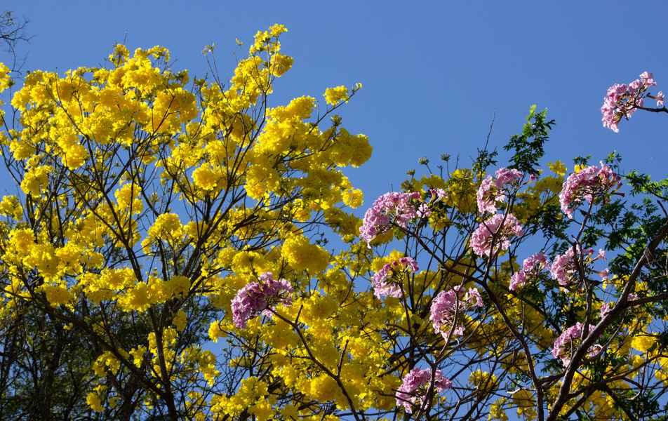 Ipês amarelo e rosa no campus Pampulha