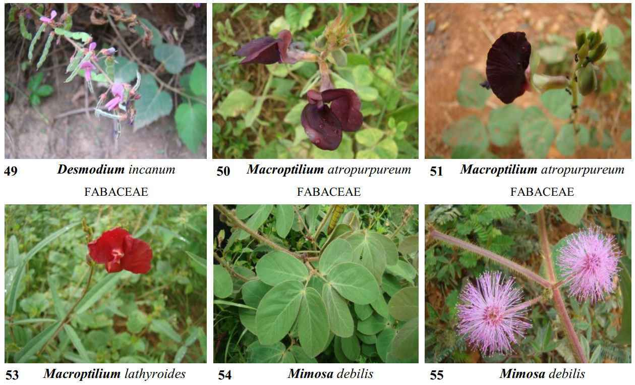 Guia traz imagens em alta resolução de 70 espécies de ervas daninhas encontradas no Campus ICA-UFMG