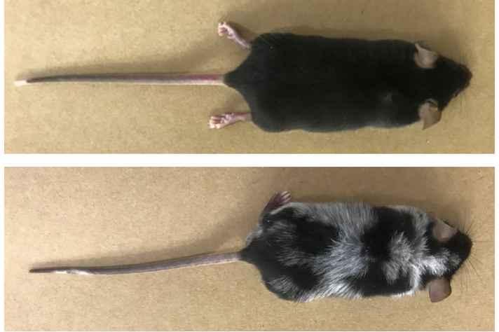 Camundongo com pelos pretos e brancos: pigmentação associada à atuação do sistema nervoso simpático, que é ativado pelo estresse
