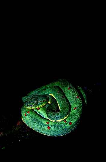 Exemplar da espécie Bothrops bilineatus encontrado no Mato Grosso