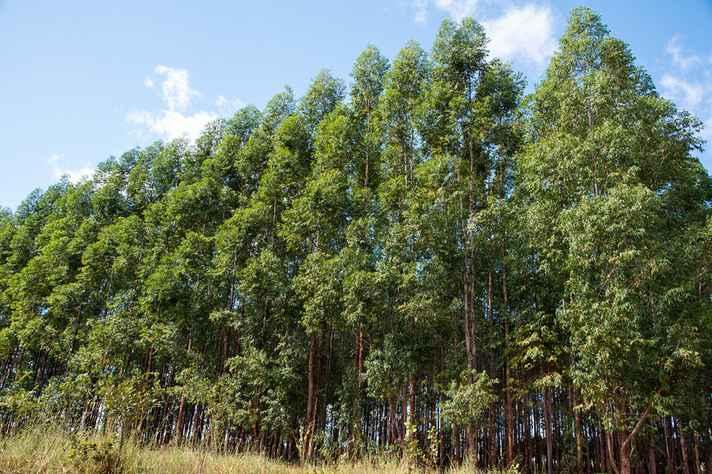 Plantação de eucalipto no Norte de Minas: sequestro e estoque de carbono