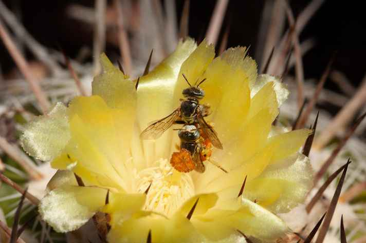 Abelha Arhysosage cactorum em cópula na flor de Parodia neohorstii