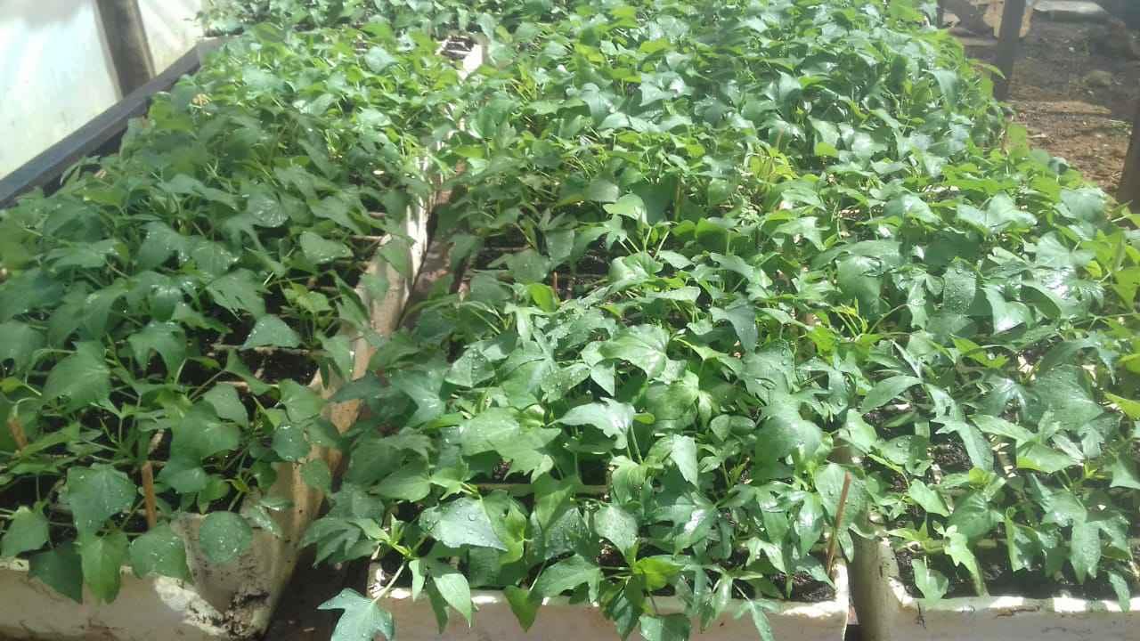 Cultivo de batata-doce durante experimento da pesquisa