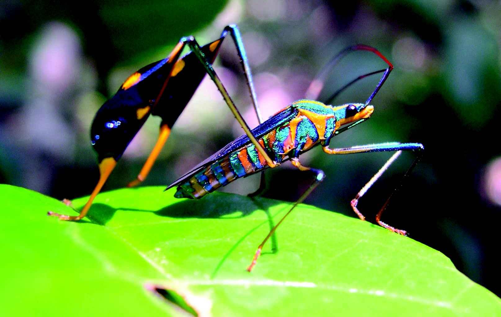 Inseto da ordem dos Hemiptera (que abrangem cigarrinhas e percevejos), na Serra do Cipó (MG)