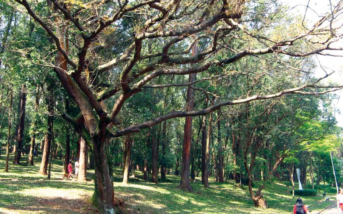 Espécime de copaíba no Parque da Aclimação, em São Paulo