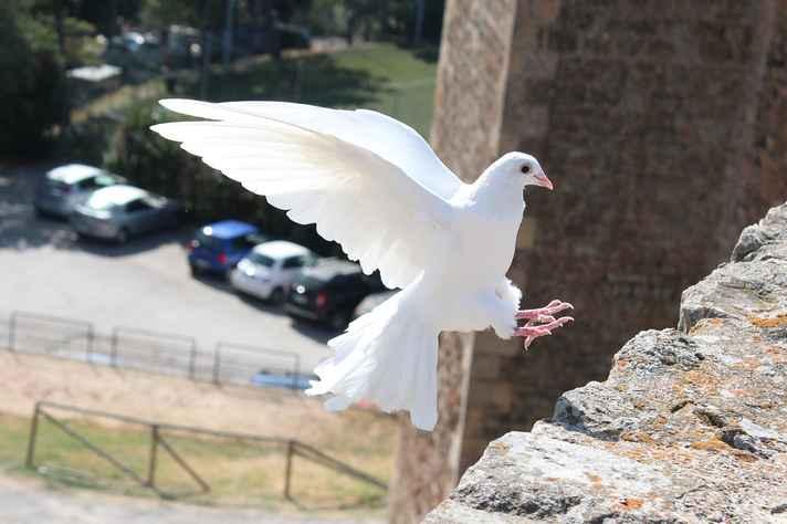 A pomba é o símbolo da paz graças a uma passagem da Bíblia