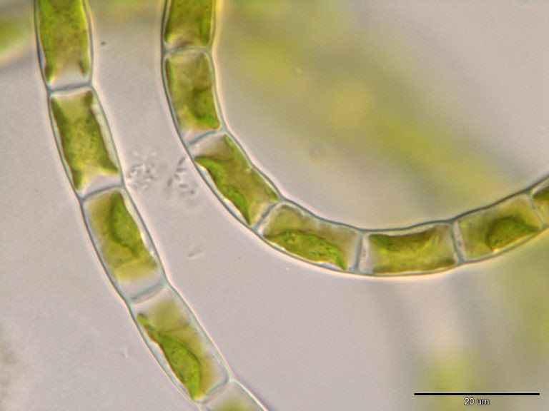 Alga da família 'Klebsormidiophyceae', estudada pelo grupo do professor Del Bem