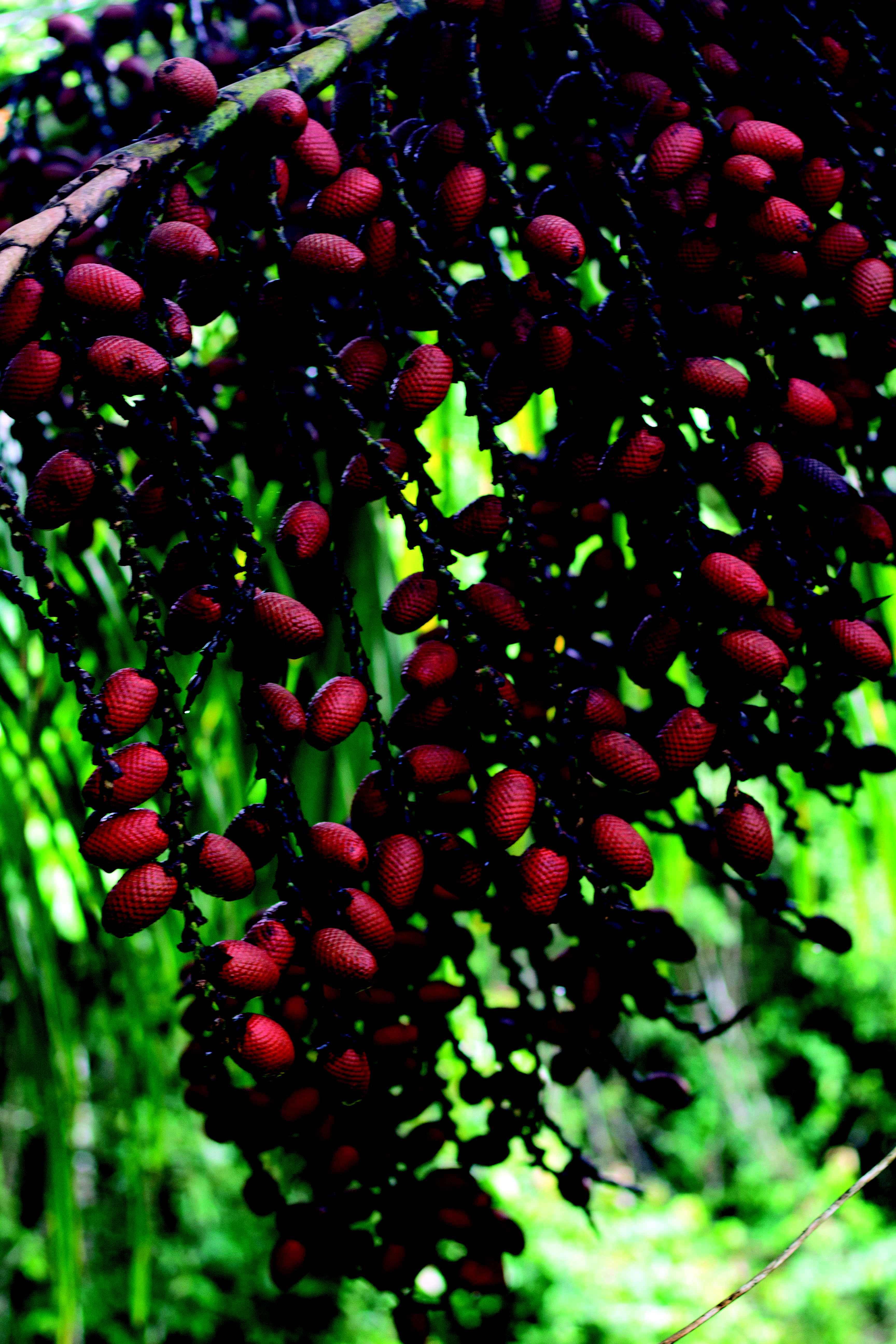 Frutos do buritizeiro, espécie de palmeira cultivada no Norte de Minas